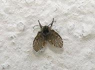 rochester pest control and exterminator black flies cluster flies drain flies and house flies. Black Bedroom Furniture Sets. Home Design Ideas